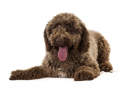 perro de agua español/ spaanse waterhond | omydog